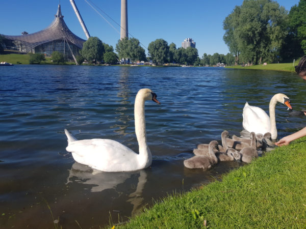 German Summer Classes: Family of geese at Olympiapark